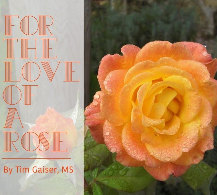 For the Love of a Rose